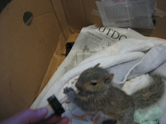 baby_squirrel_fed_formula