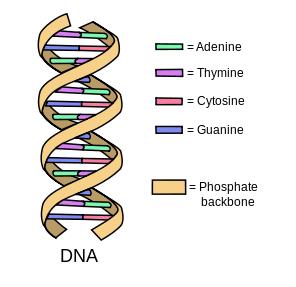 DNA, adenine, guanine, cytosine, thymine