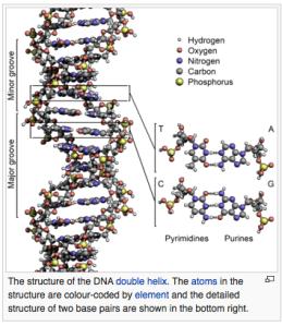 DNA, double helix