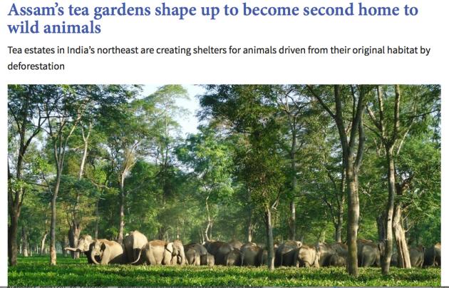 Assam's tea gardens, home to wild animals
