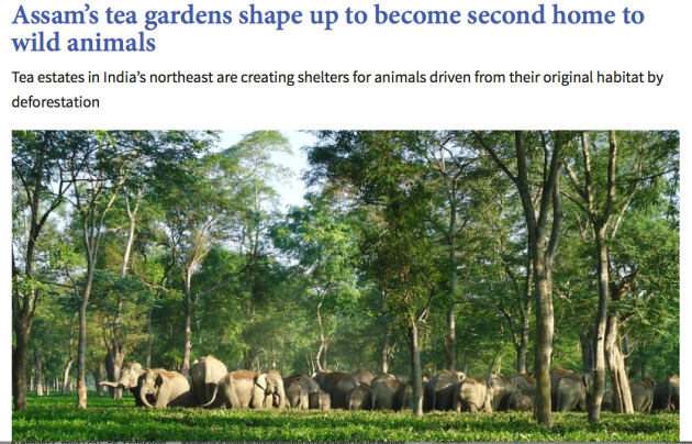 Assam's tea gardens, home to wild animals