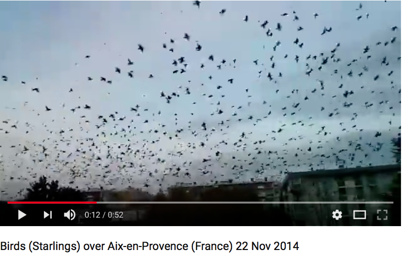 Starlings Etourneaux Aix-en-Provence  Migratory birds which will return to Africa