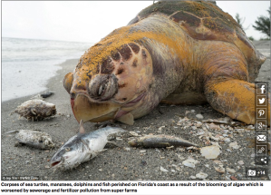 dailymail uk florida state of emergency dead sea turtle