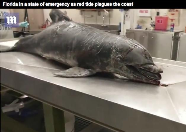 dailymail uk florida state of emergency dolphin bleeding closer