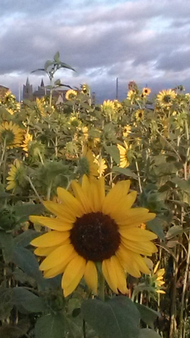 10,000 sunflowers, Providence, Rhode Island, 10,000 Suns, community growing