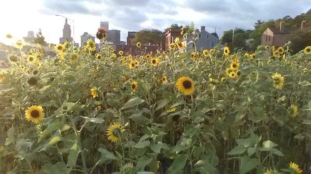 10,000 sunflowers Providence, Rhode Island