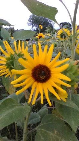 sunflower bee smile