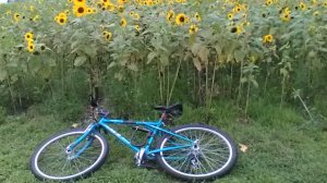 bicycle before sunflowers