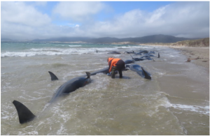 145 Pilot Whales Found Dead on Remote New Zealand Beach. Nobody Knows Why.