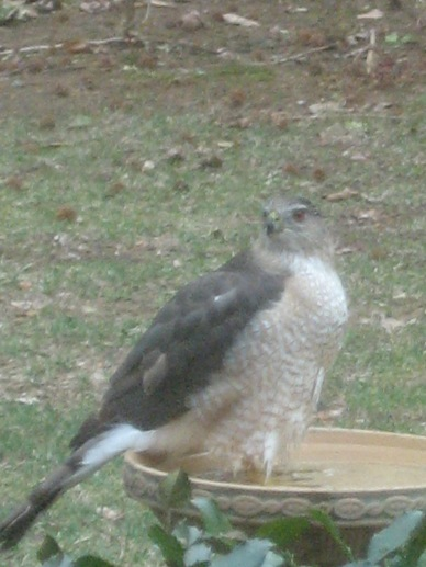 video of hawk bathing in the bird bath in April Pennsylvania 2015