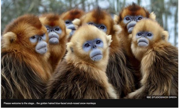 Sir David Attenborough, golden haired blue-faced snub-nosed monkeys, alive, BBC